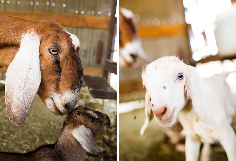 Baby-goats-and-mama