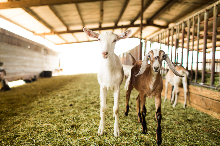 Drake Family Farm Goats