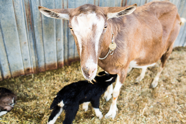 Mother-Goat-with-newborn-goat