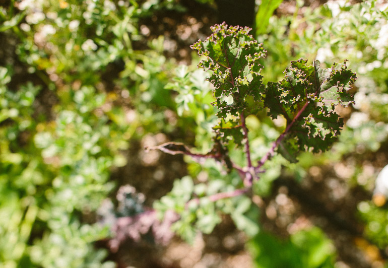 Heirloom LA Garden Kale