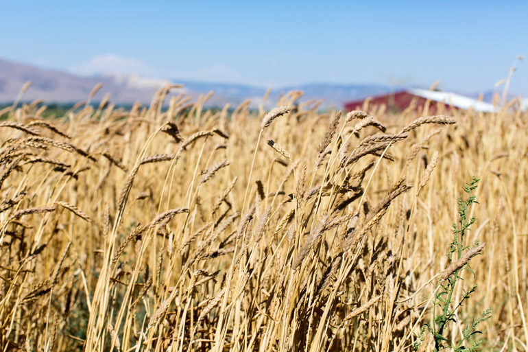 Weiser Farms Wheat