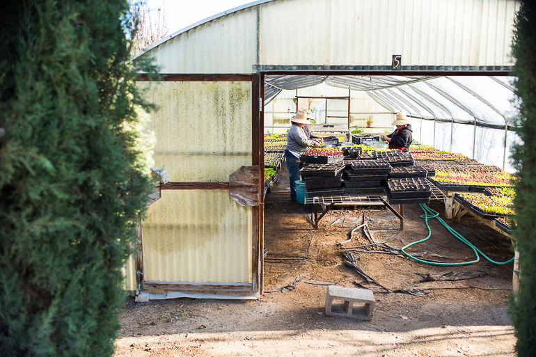 caring-for-seedlings-Windrose-Farm-Greenhouse